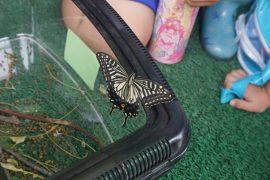 アゲハ蝶を育てたよ15